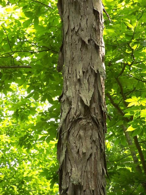 guardian-tree.jpg