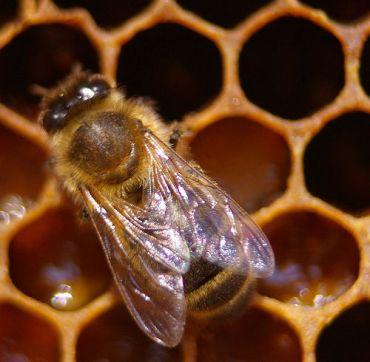 honeybee-in-hive.jpg