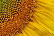 sunflower-closeup.jpg