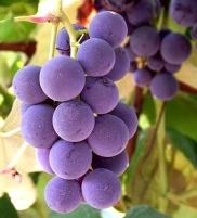 true-purple-grapes.jpg