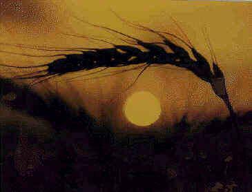 wheatsunset_stev.jpg
