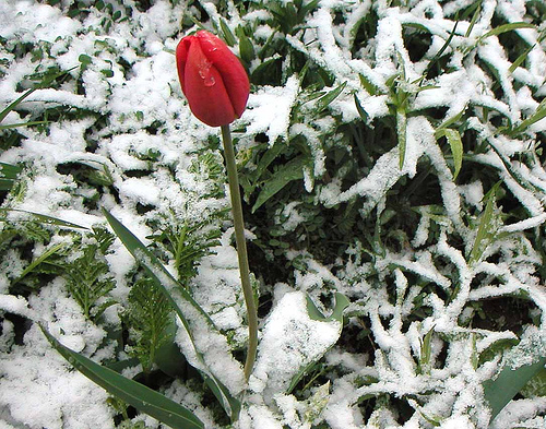 winter-tulip.jpg