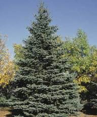 spruce-co.jpg