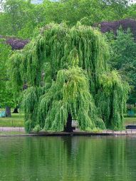 willow-tree.jpg
