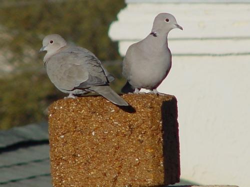 doves-2