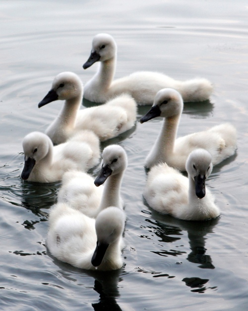 swans-5