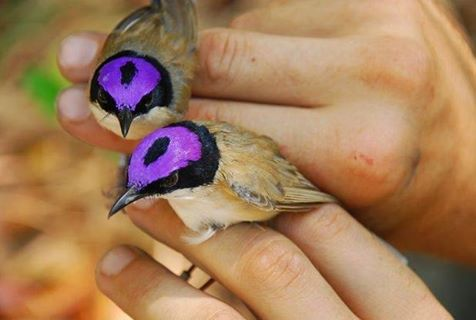 Fairy Wrens - Wolf Wind